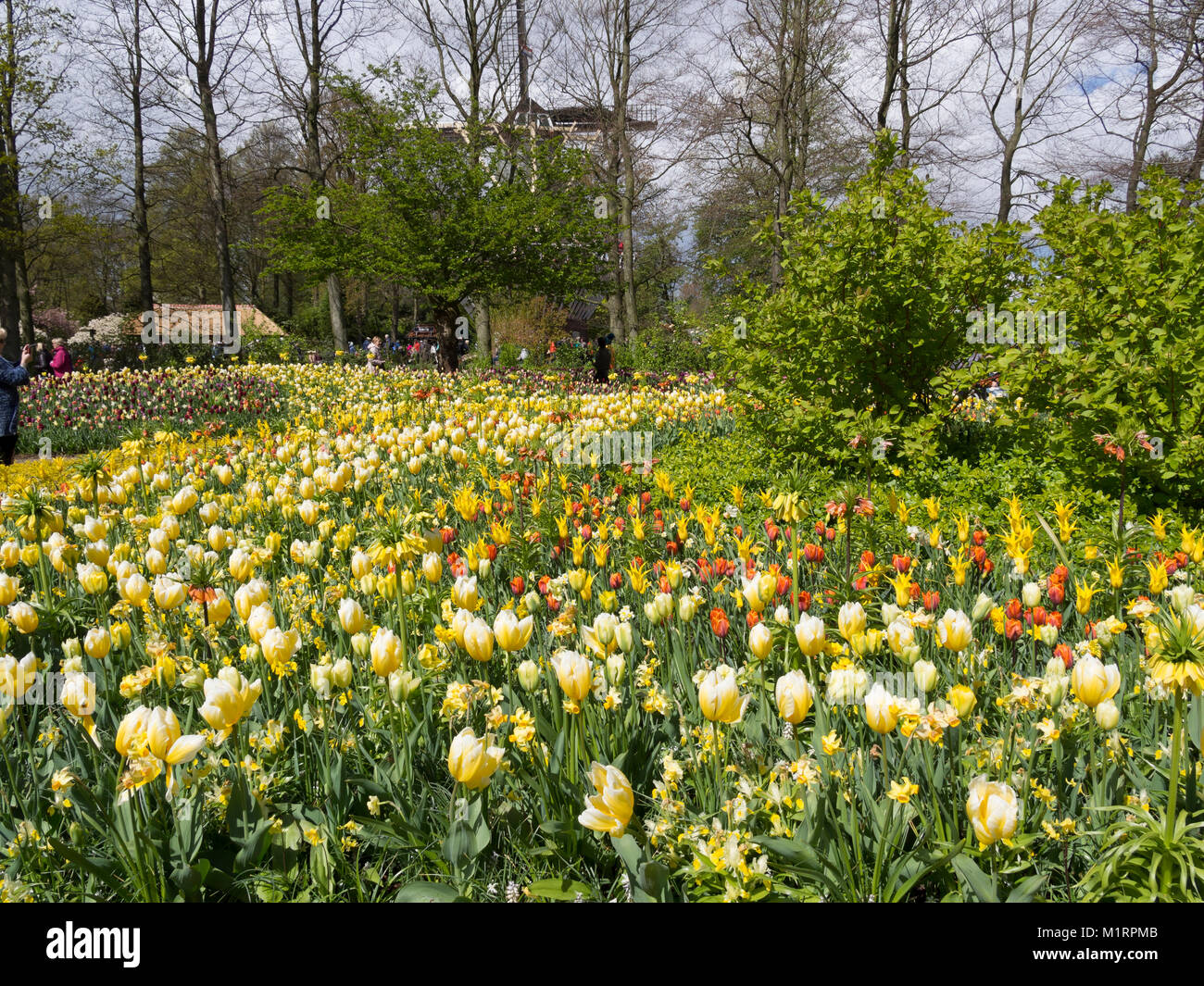 Mass Plantings Of Tulips And Spring Bulbs At Keukenhof Gardens