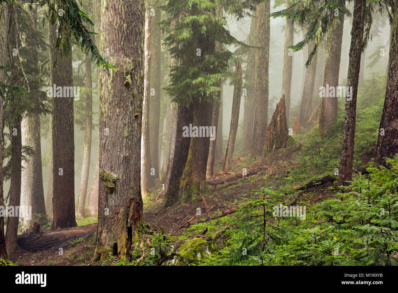WASHINGTON - Fog shrouded forest along the Perry Creek Trail below the Mount Forgotten meadows in the Mt. Baker - Stock Image