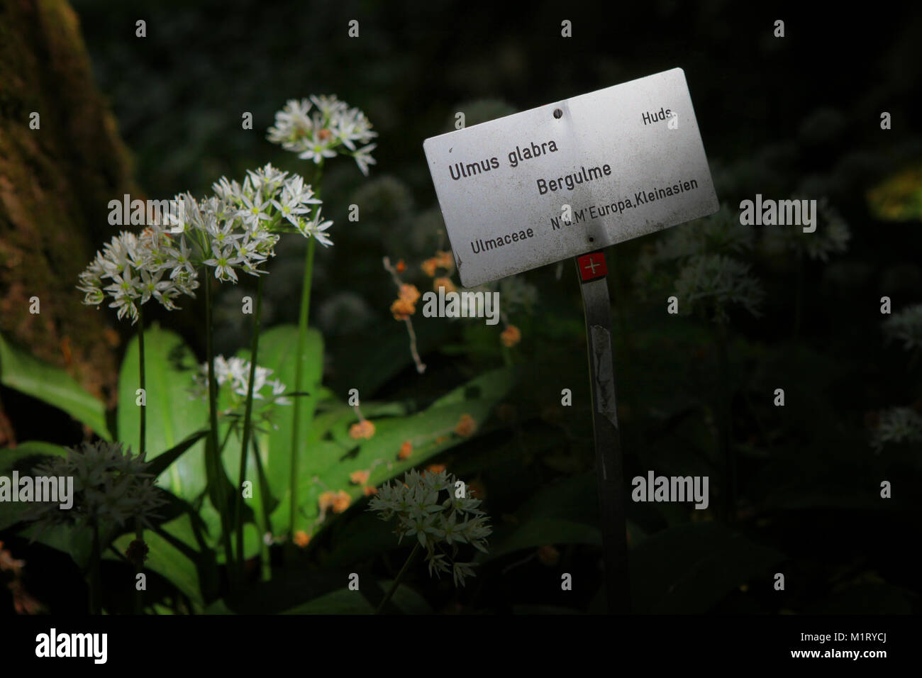 Taxonomy of trees Stock Photo