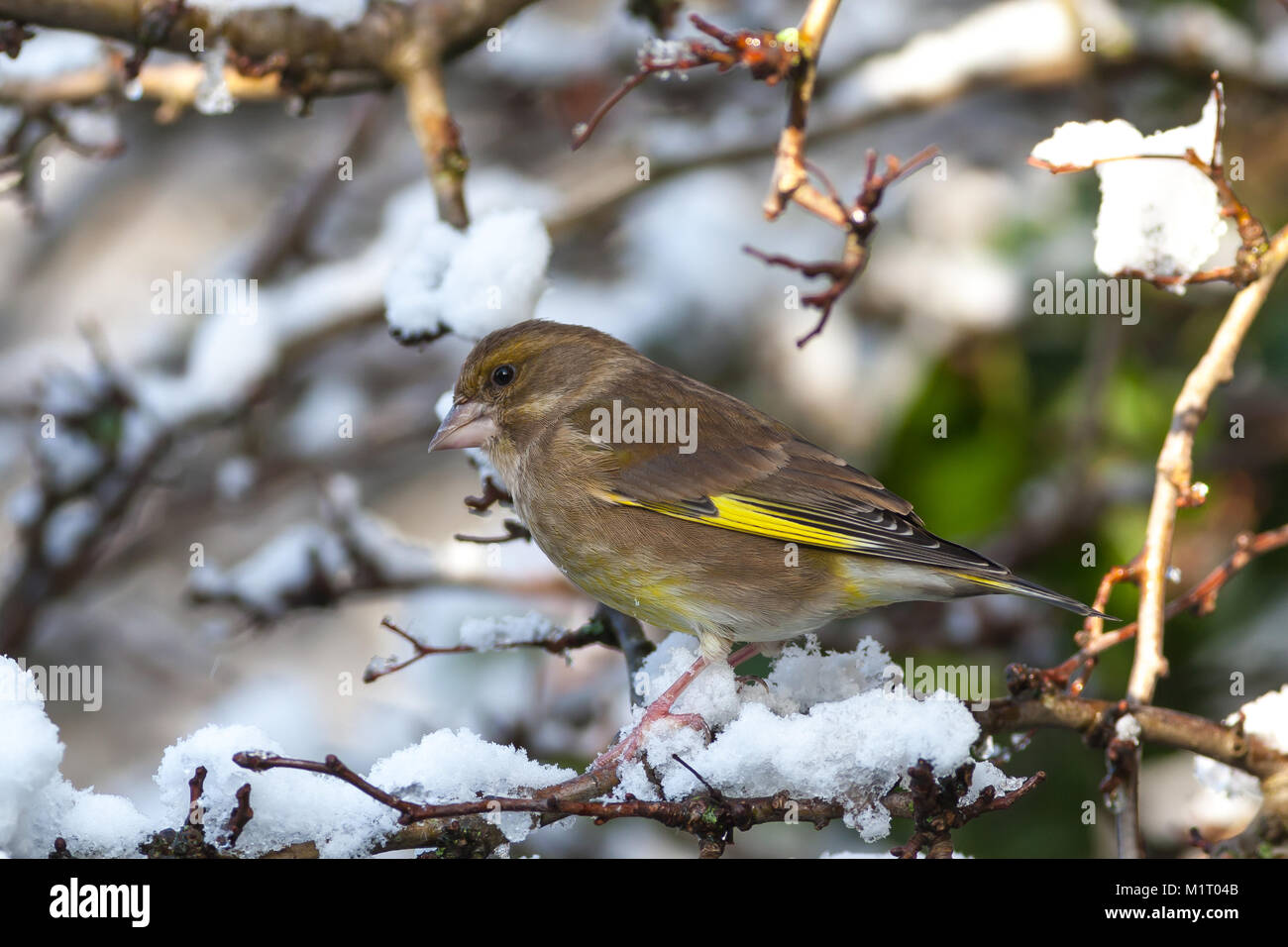 Adult male Greenfinch, Carduelis chloris, perched in tree branch in snow, UK - Stock Image