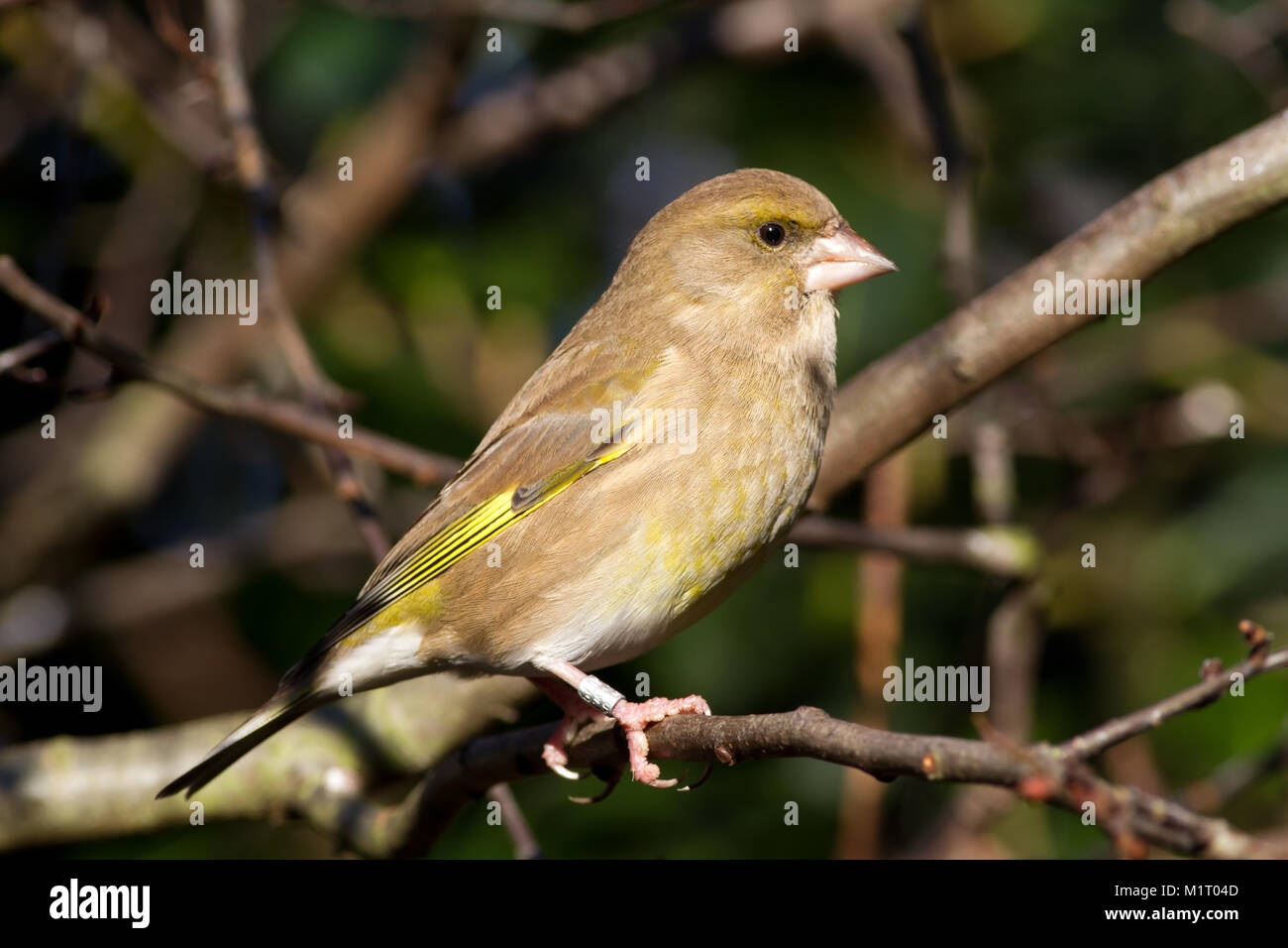 Adult male Greenfinch, Carduelis chloris, perched in tree branch, UK - Stock Image