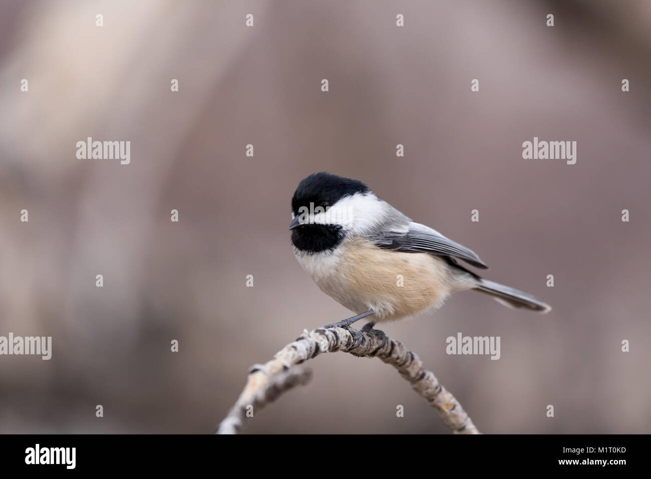 Black Capped chickadee sitting on a curved branch with soft warm brown tones in the background - Stock Image