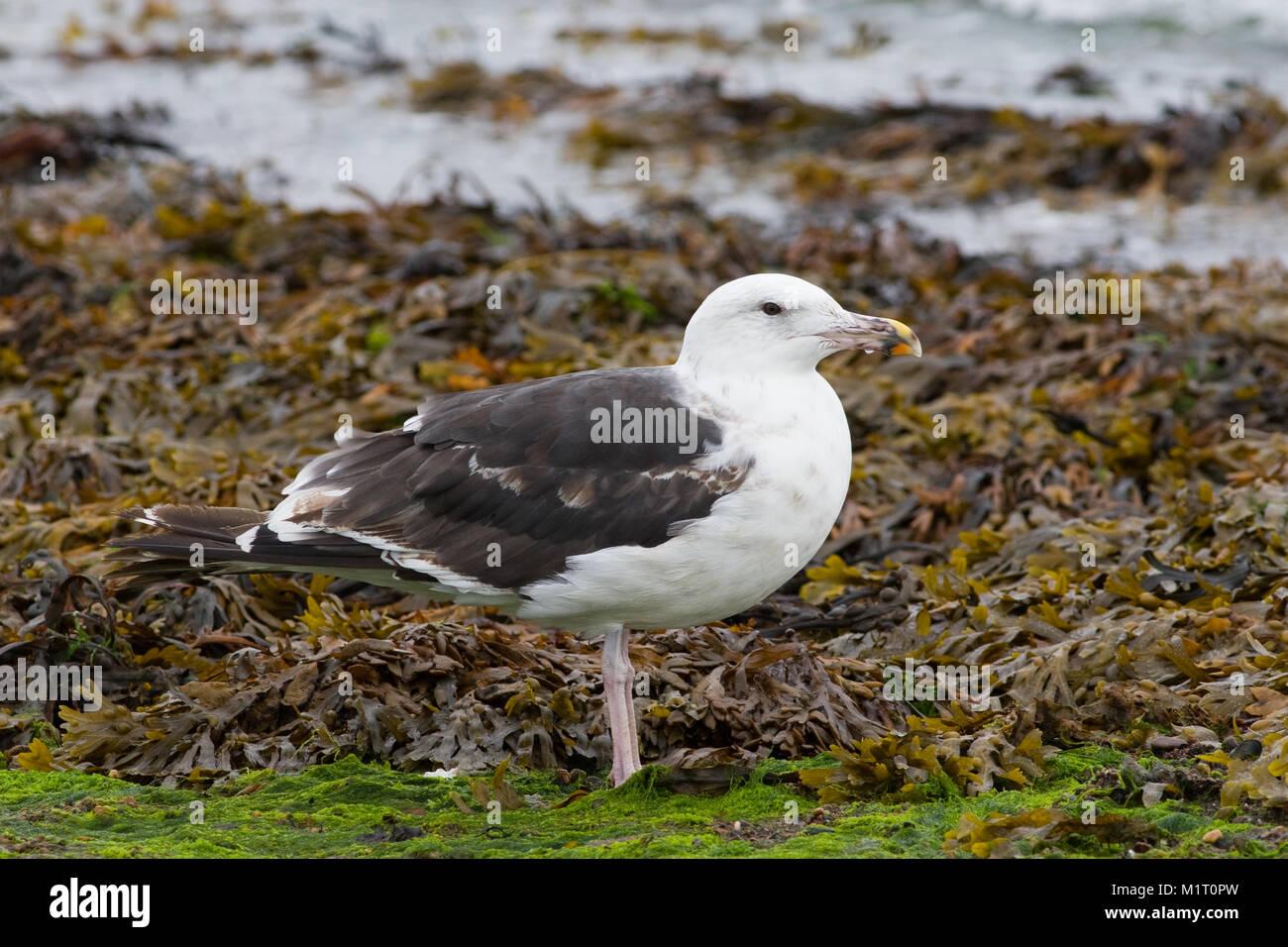 Lesser Black-backed Gull, adult, Larus fuscus, in the UK - Stock Image