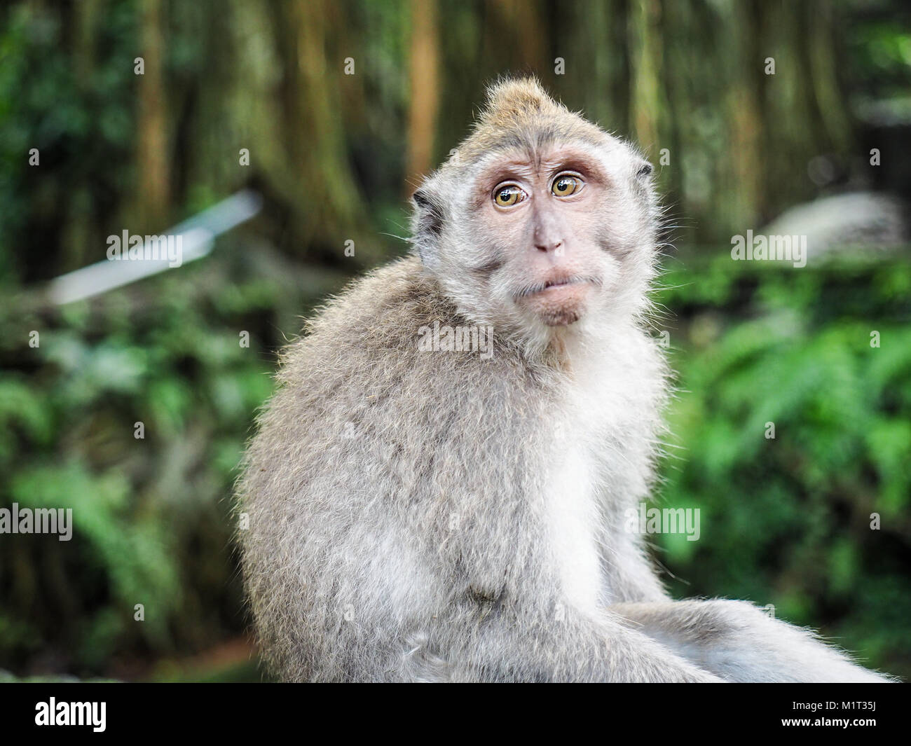 Monkey looking around. Facial expression of animal. Portrait of blue and resigned macaque. Stock Photo
