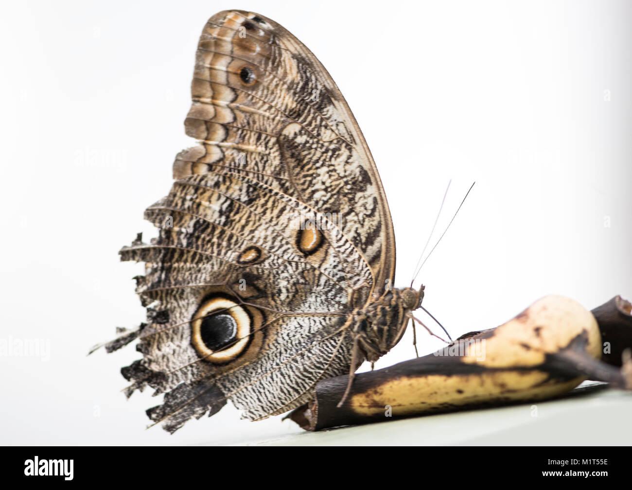 owl butterfly (Caligo eurilochus) eats from a banana.  Seen against a plain background - Stock Image