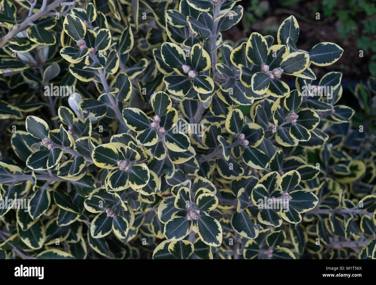 Young ficus with motley leaves and seeds - Stock Image