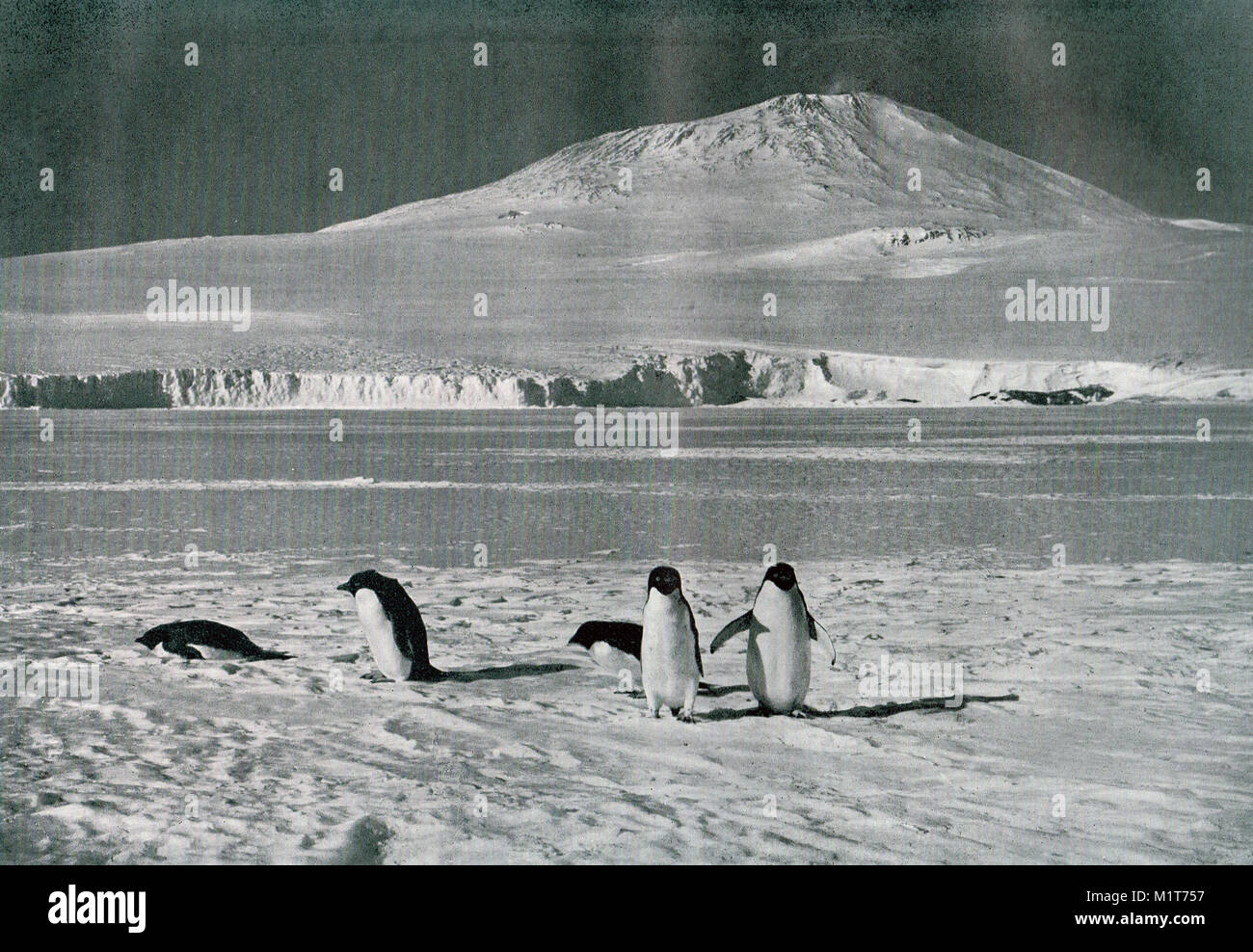 Penguins at Mount Erebus, Ross island, Antarctica.  Scott's final expedition - Stock Image