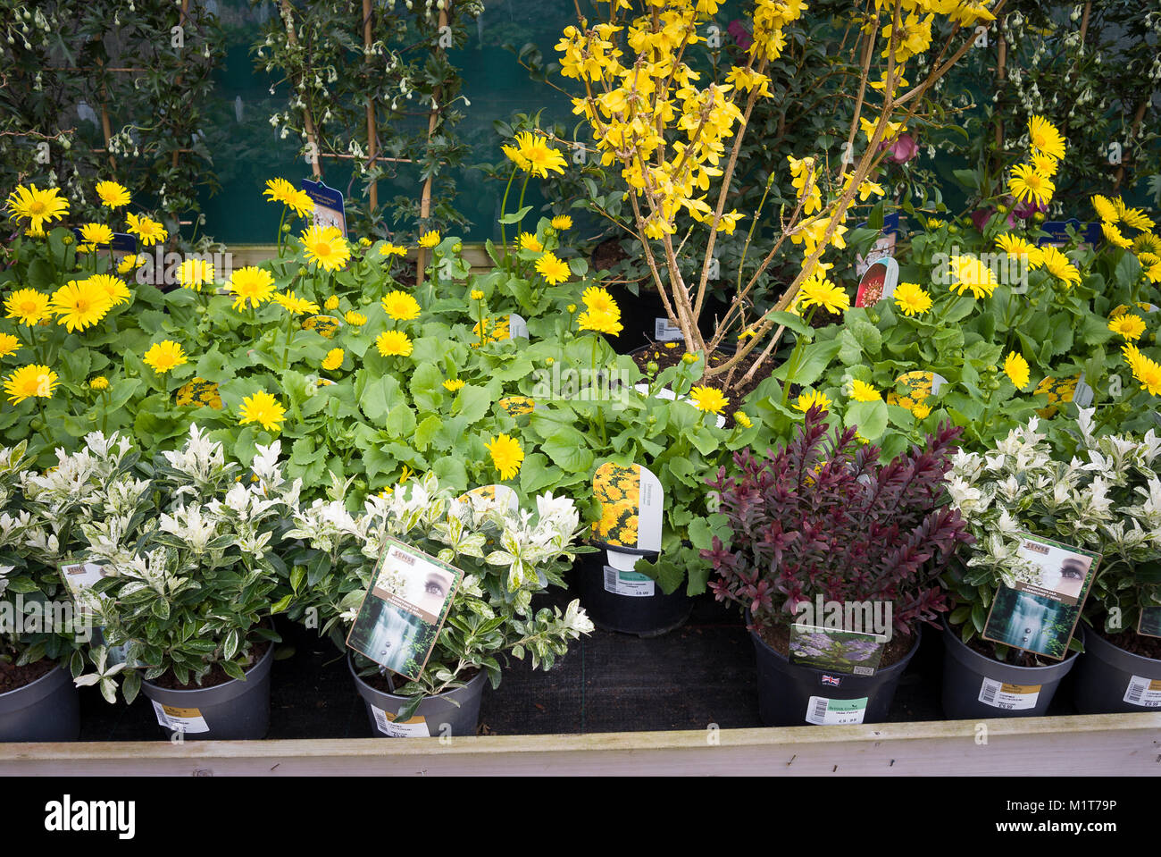 Yellow Doronicum plants and other perennials for sale in an English garden centre in March - Stock Image