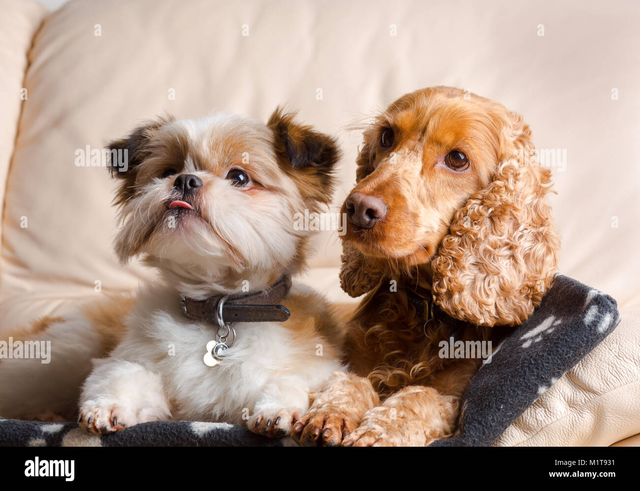 Indoor pet portrait: pomeranian shih tzu & red cocker spaniel, snuggled together on leather sofa in family home. - Stock Image