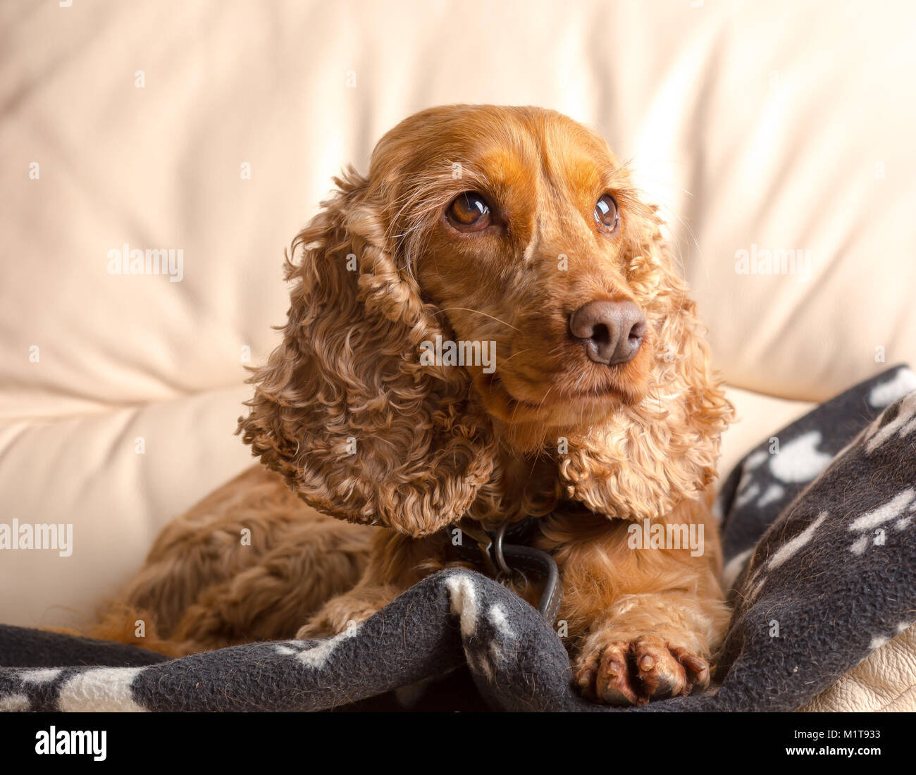 Adorable portrait of family pet dog, red cocker spaniel, sitting on special doggie blanket inside on sofa, looking - Stock Image