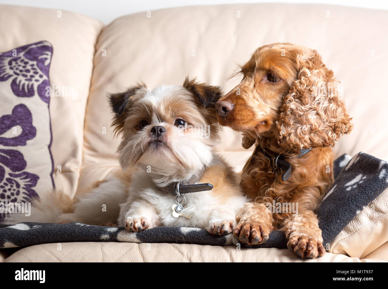 Indoor pet portrait of pomeranian shih tzu & red cocker spaniel, snuggled together on leather sofa in family - Stock Image