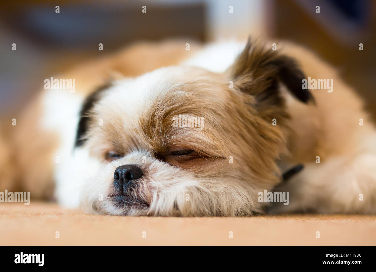 Detailed close up of cute, fluffy Pomeranian Shih Tzu dog asleep, lying with chin on floor, one ear humorously cocked! - Stock Image