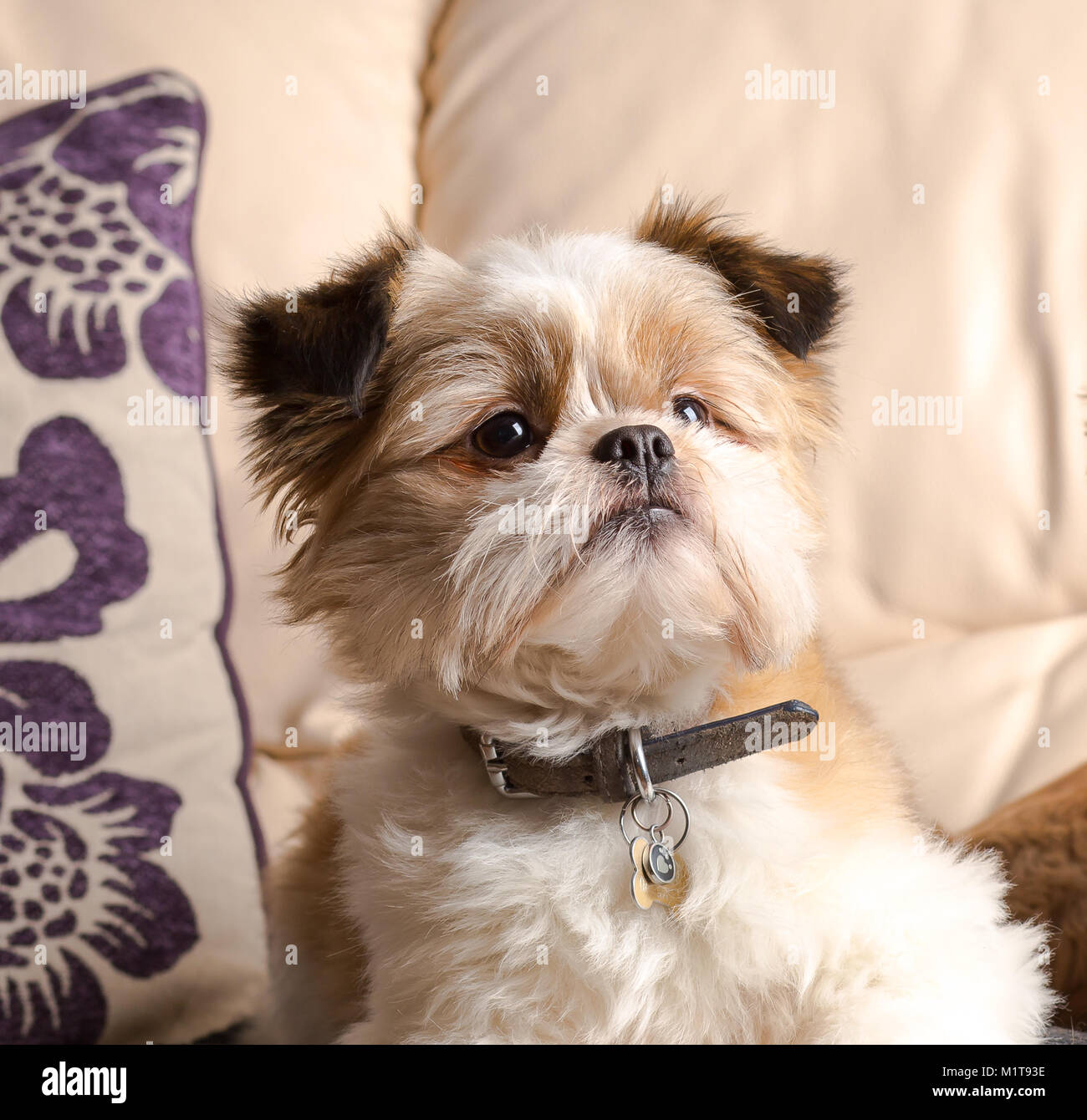 Close up: family pet dog, Pomeranian Shih Tzu, nice & comfy on leather sofa at home! Much-loved family member - Stock Image