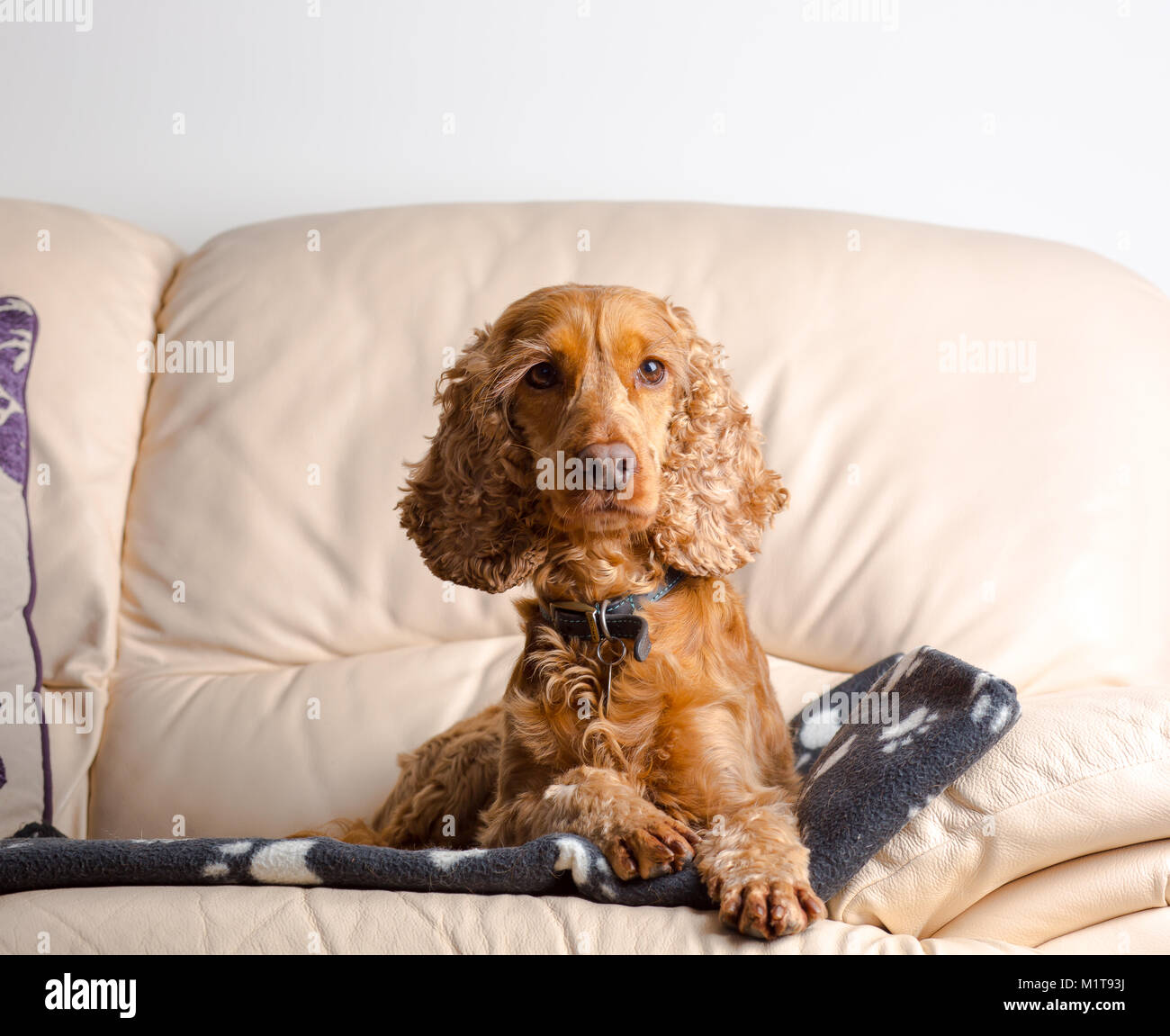 Indoor portrait of family pet dog (red, working cocker spaniel) enjoying home comforts sat on leather sofa. Posing - Stock Image