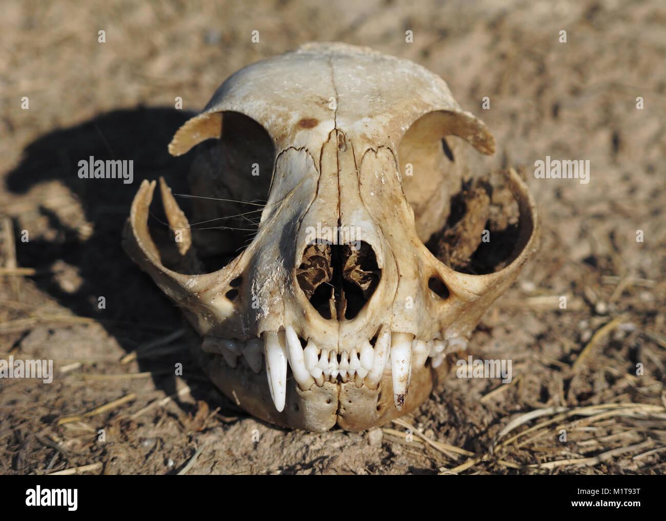 Cat Skull Stock Photos Cat Skull Stock Images Alamy