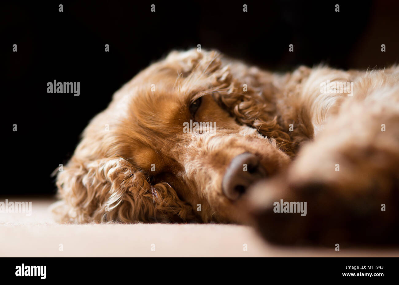 Detailed close up: family pet dog (red cocker spaniel), asleep inside at home, lying with head on carpet. Cute, - Stock Image