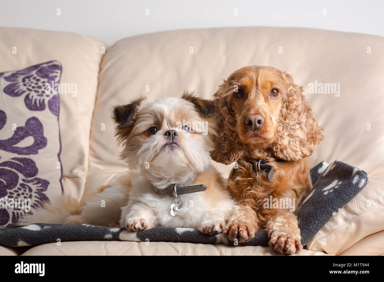 Adorable, cosy pet portrait of Pomeranian Shih Tzu & Red Cocker Spaniel, sat together on leather sofa in family - Stock Image