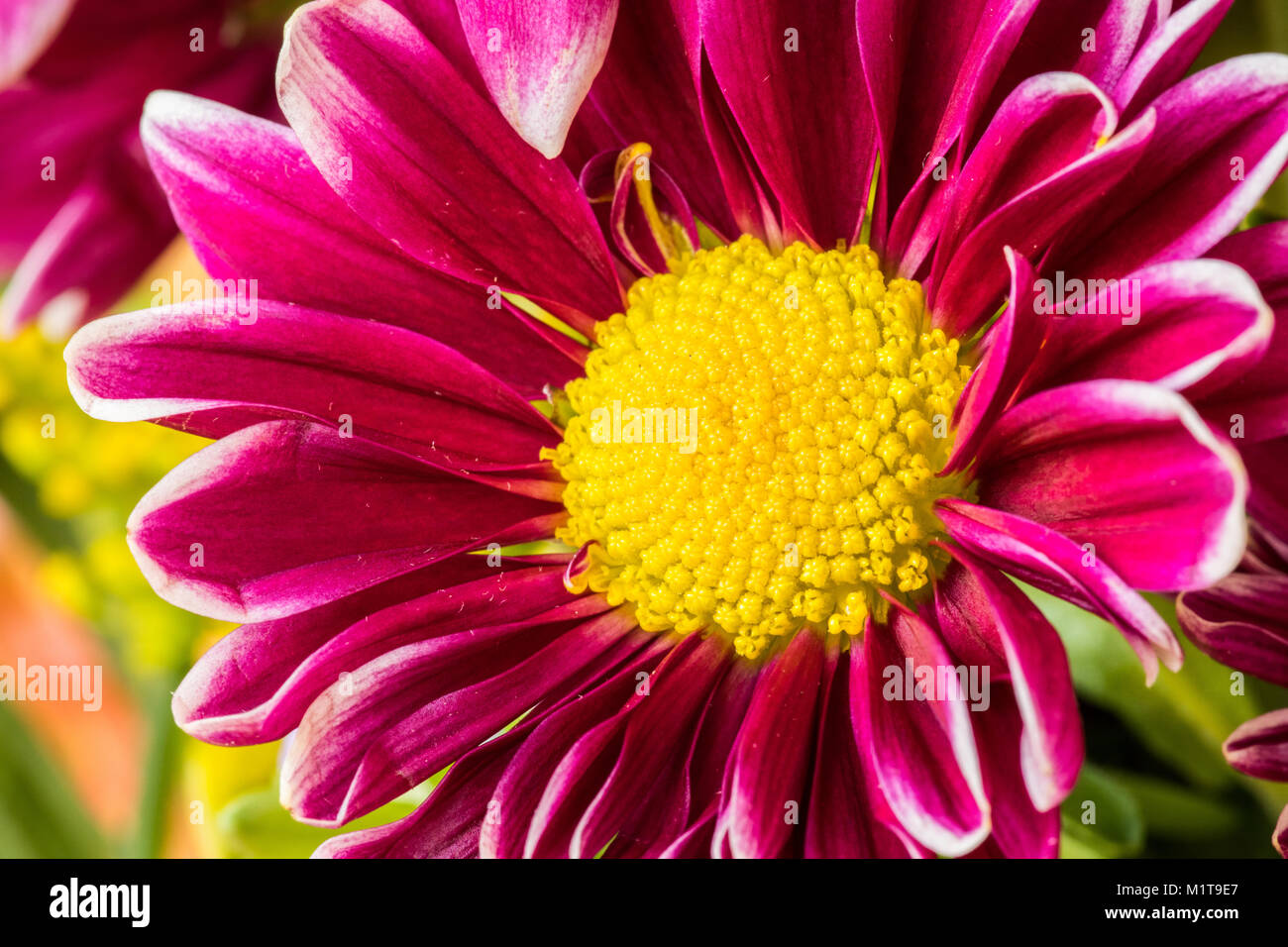 Purple Flower With White Center Stock Photos Purple Flower With