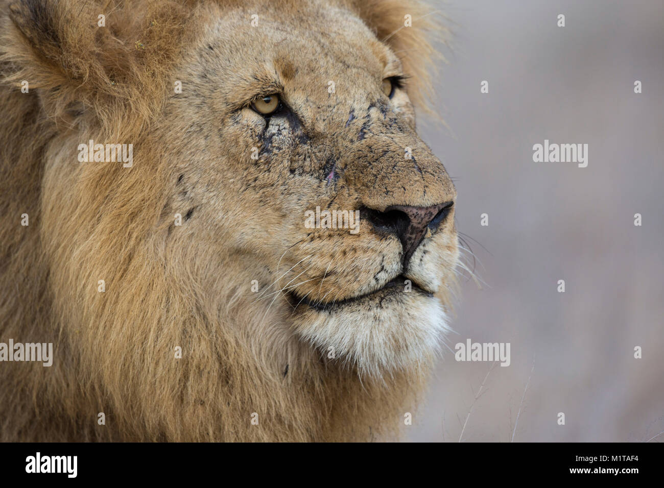 Tight male lion (Panthera leo) portrait showing a scarred face after many fights - Stock Image