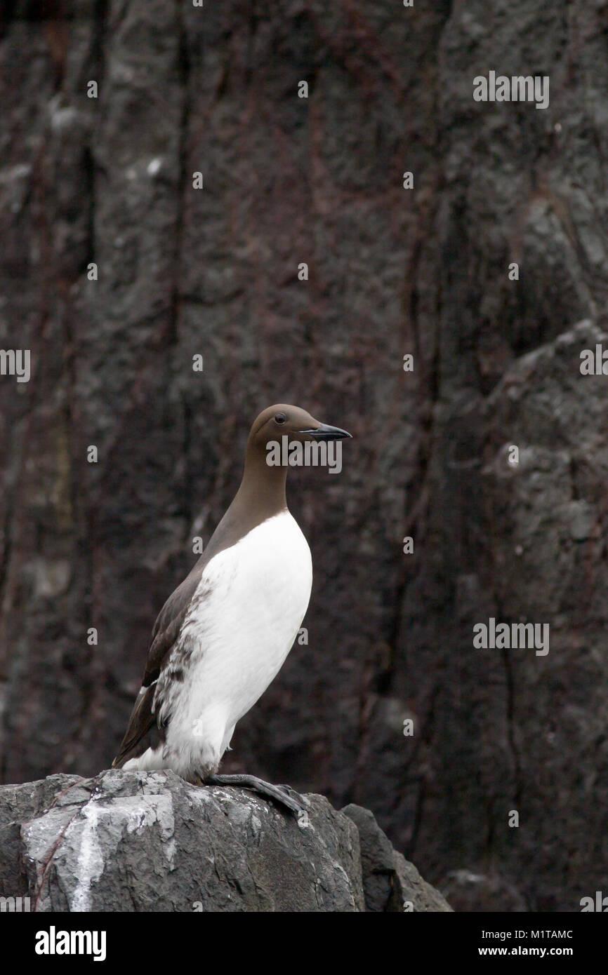 single adult Guillemot, Uria aalge, perched on cliff edge, Farne Islands, UK Stock Photo