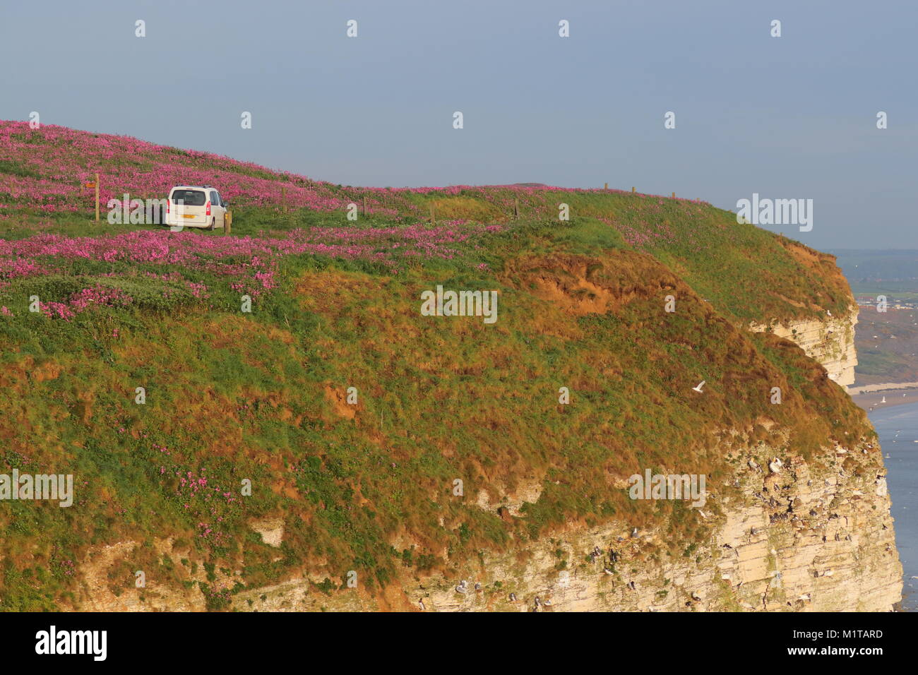 A private farm track runs along the edge of a cliff at Bempton , giving the impression this driver is lost. - Stock Image