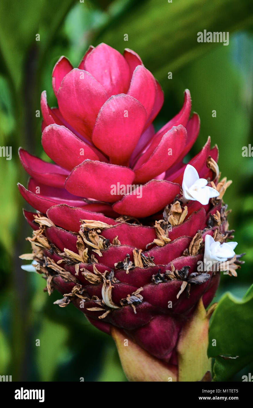 A beautiful flower in Villavicencio, Meta, Colombia. - Stock Image