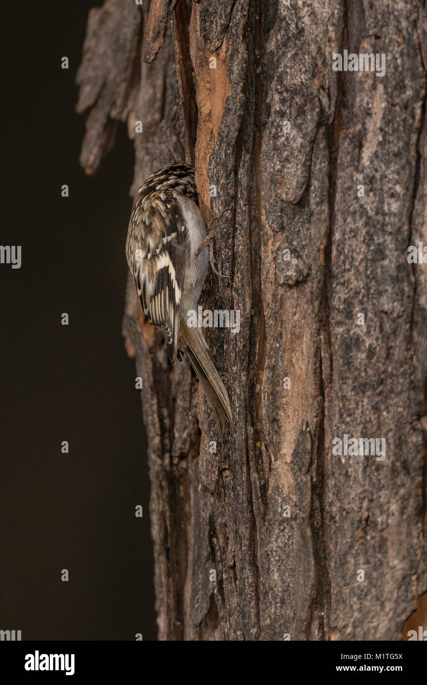 Little Brown Creeper hunting on tree truck. - Stock Image