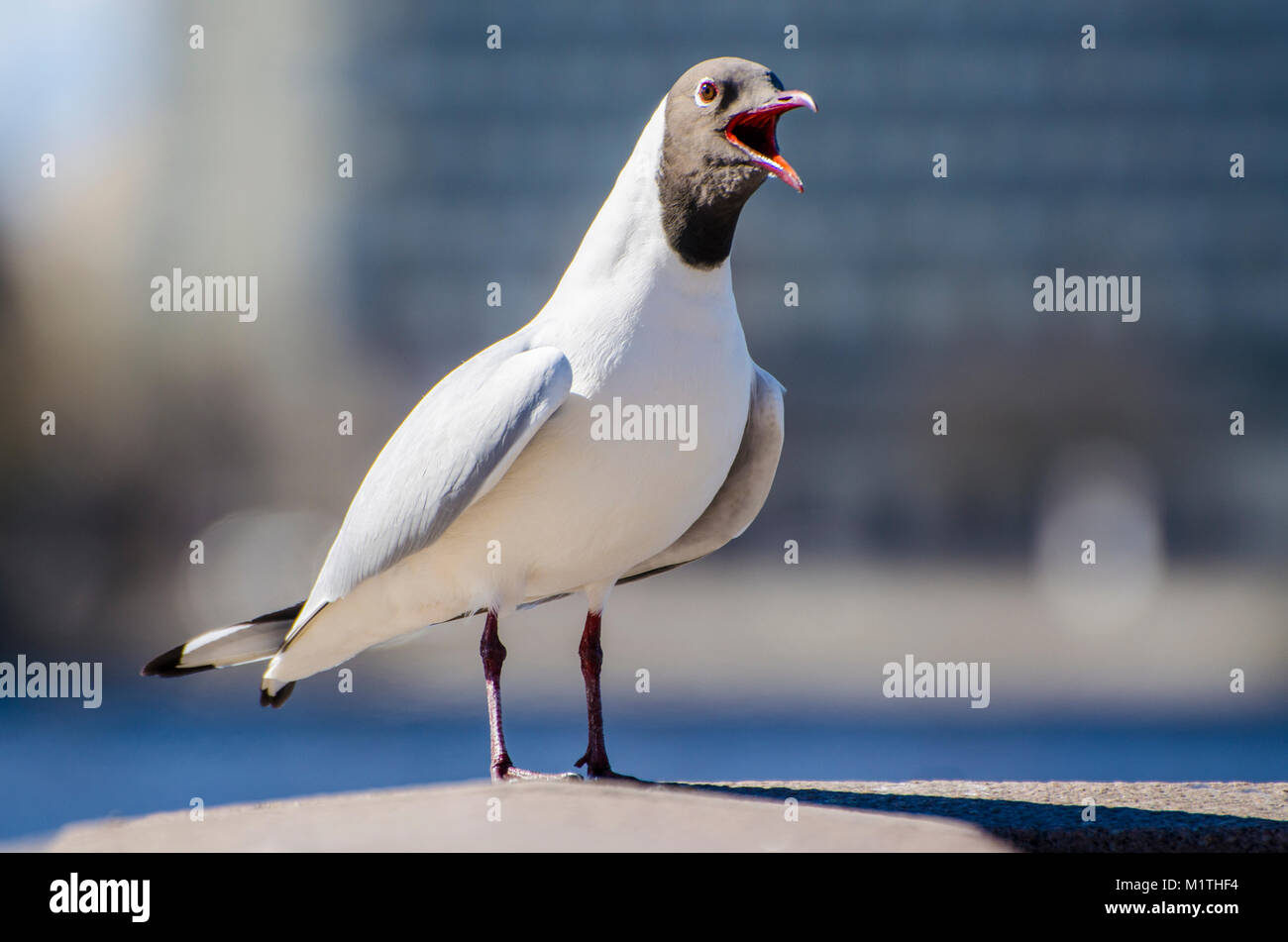 Macro shot of seagull standing on handrail with tousled feathers on windy winter day on cloudy and blue background. - Stock Image