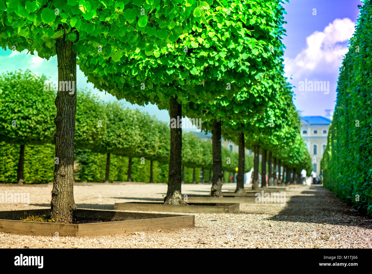 Macro shot of bright green, cropped linden tree row in park, botanical garden in front of castle. Sunny background. - Stock Image