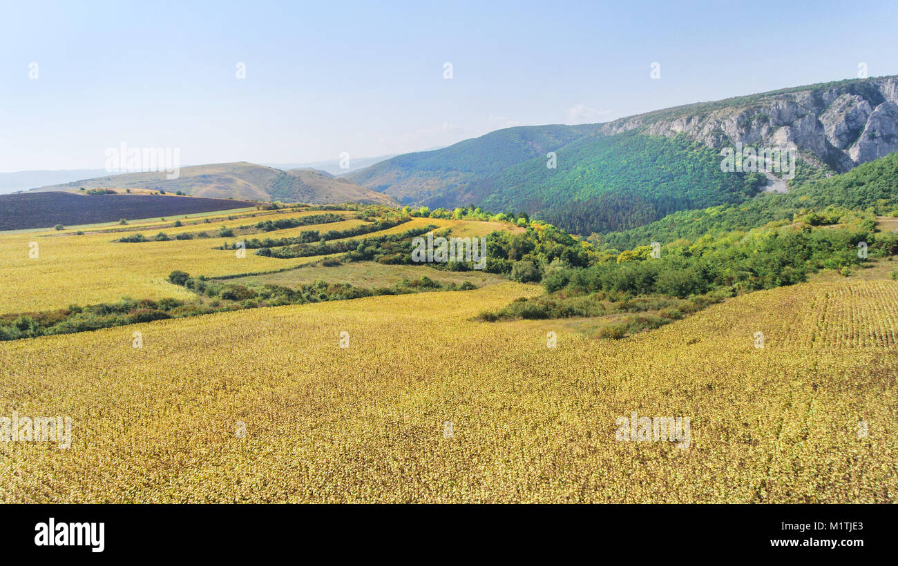 Aerial shot of sunflower field ready for harvest. Drone shot of mountain side with a ravine, forest-covered hill - Stock Image