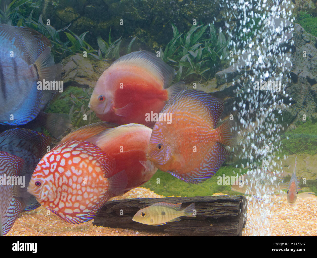 Discus Fishes Stock Photos & Discus Fishes Stock Images - Alamy