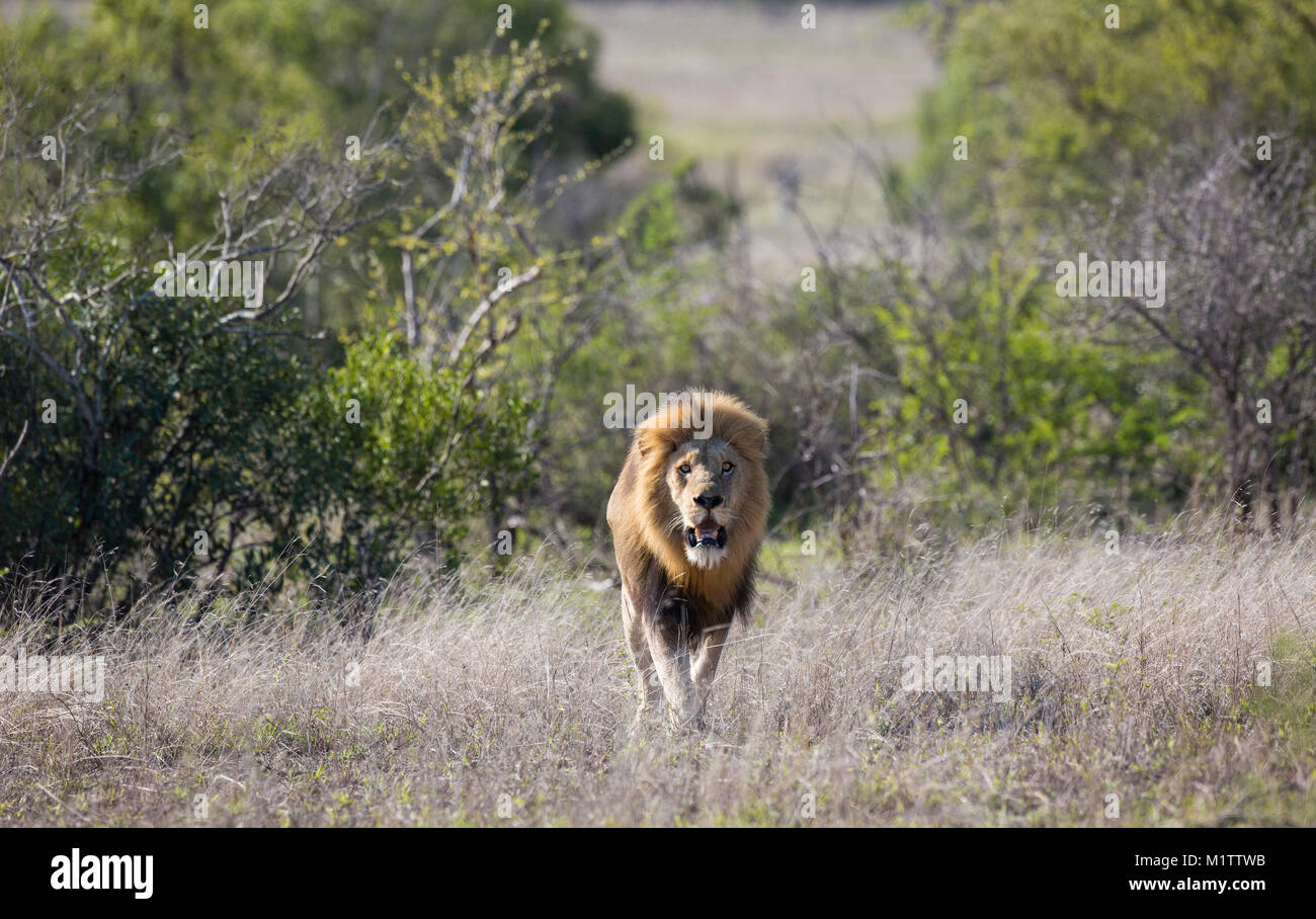 Scenic view of a male lion (Panthera leo) with a big black mane walking in bushveld - Stock Image
