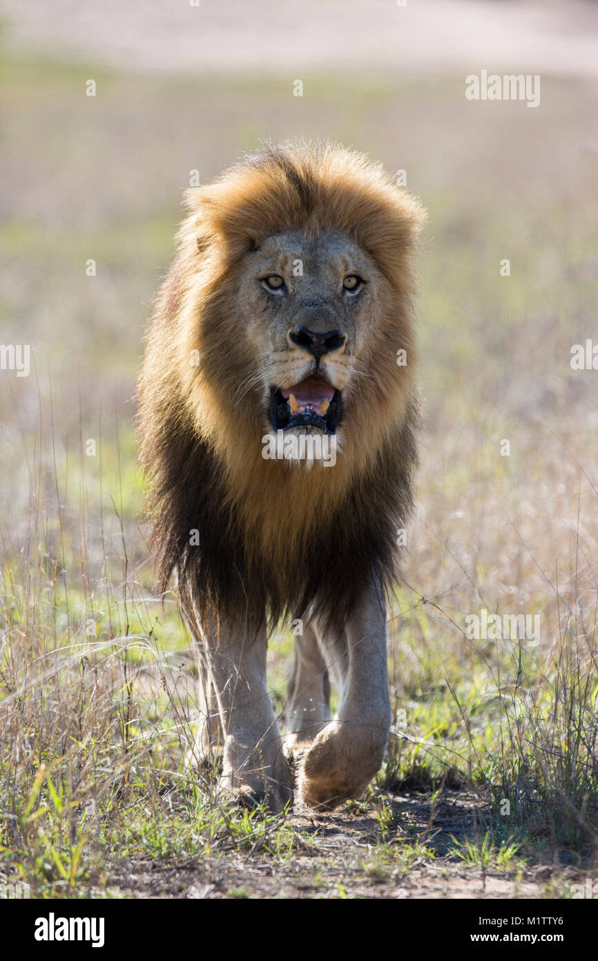Head-on view of an adult male lion (Panthera leo) with a big black mane walking - Stock Image