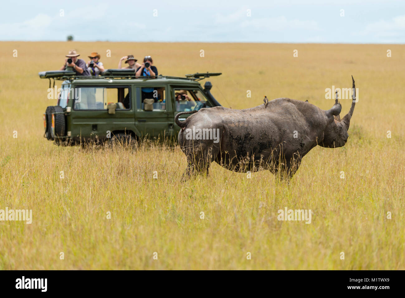 East African sub-species of black rhino (Diceros bicornis michaeli) cautiously approaches a safari game drive vehicle - Stock Image