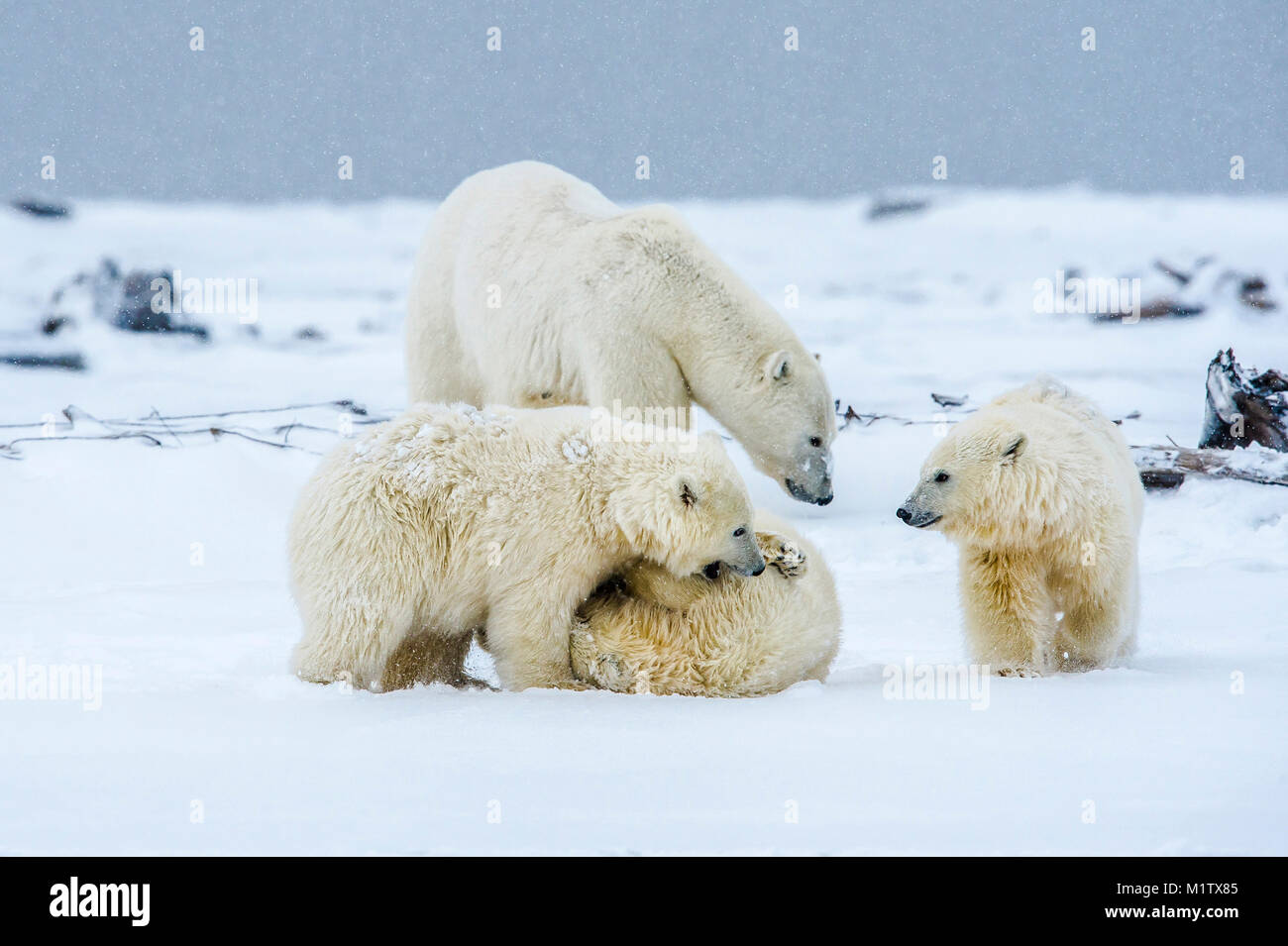 Polar bears (Ursus maritimus) near the village of Kaktovik, Barter Island, Alaska. Today, the primary conservation - Stock Image