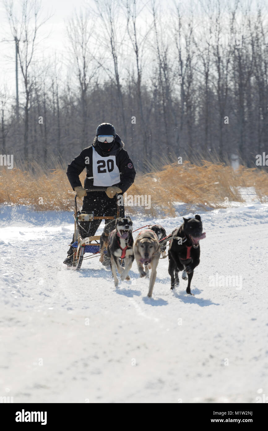 L'Epiphanie, Canada 1/28/2018 . A musher and his team of dogs race in the International Dog sled Race of Lanaudiere, - Stock Image