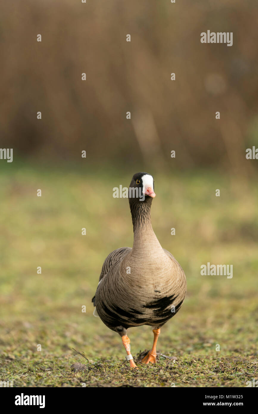 Greater white fronted goose, Anser albifrons, feeding on old pastureland, late winter in Somerset. - Stock Image