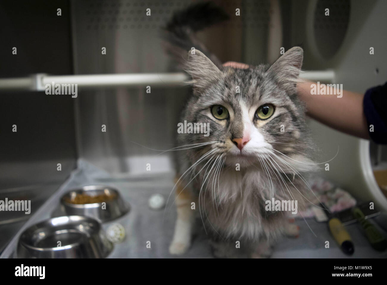 A volunteer pets a cat at the local animal shelter. Stock Photo