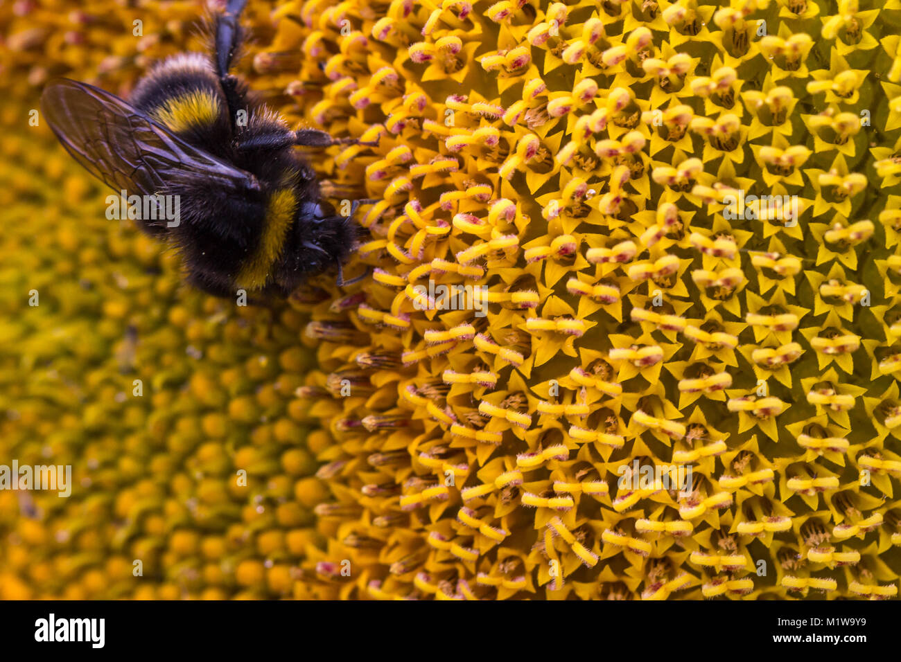 Detailed close up image of a bumble bee feeding on nectar and pollinating a sunflower.  England, UK - Stock Image