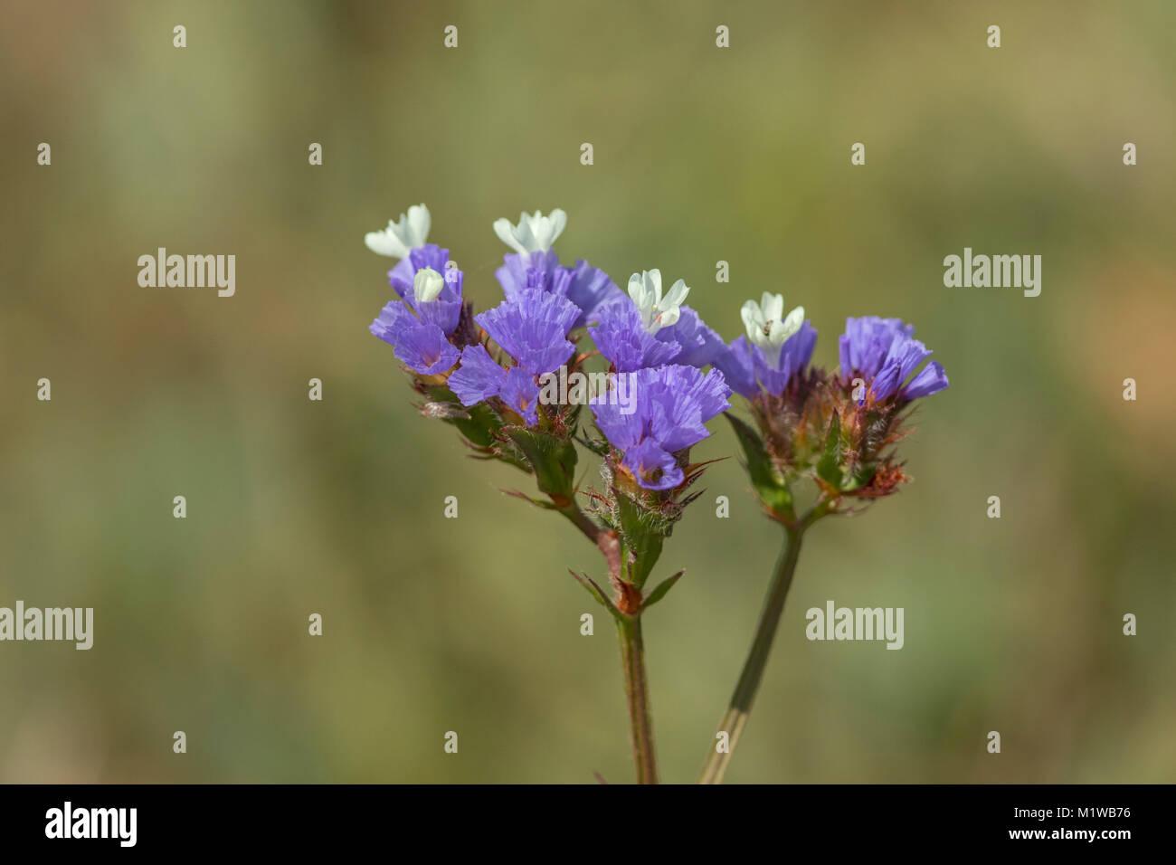 Flowering Statice, Sea Lavender (Limonium sinuatum), - Stock Image