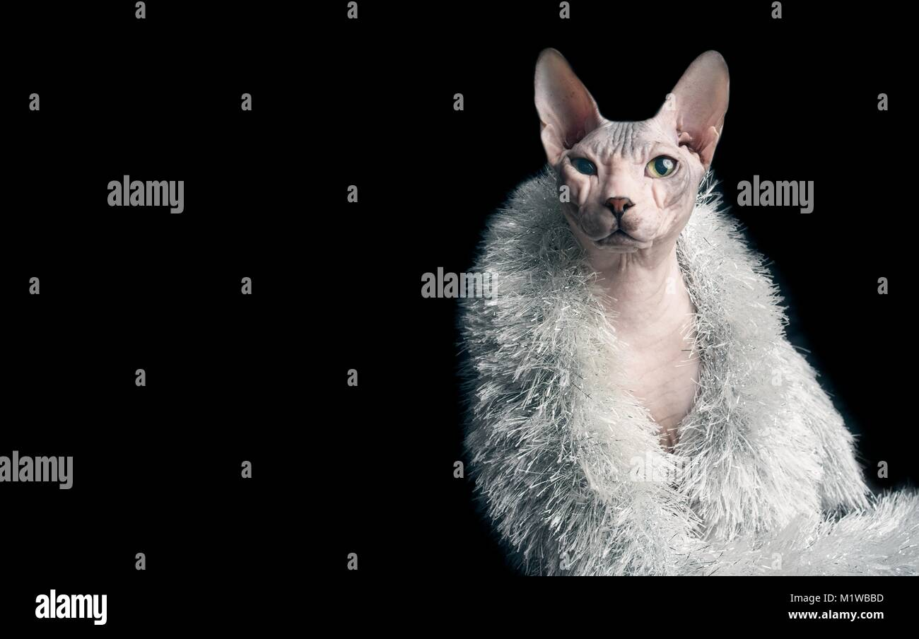 Funny portrait of a sphynx cat with silver stole - Stock Image