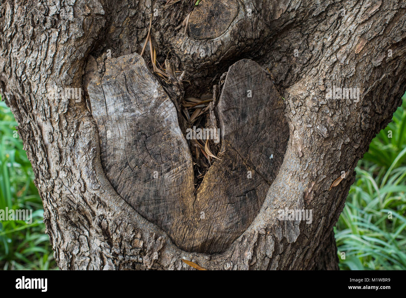 Knot in the trunk of a tree shaped like a heart broken in two, image in landscape format with copy space - Stock Image
