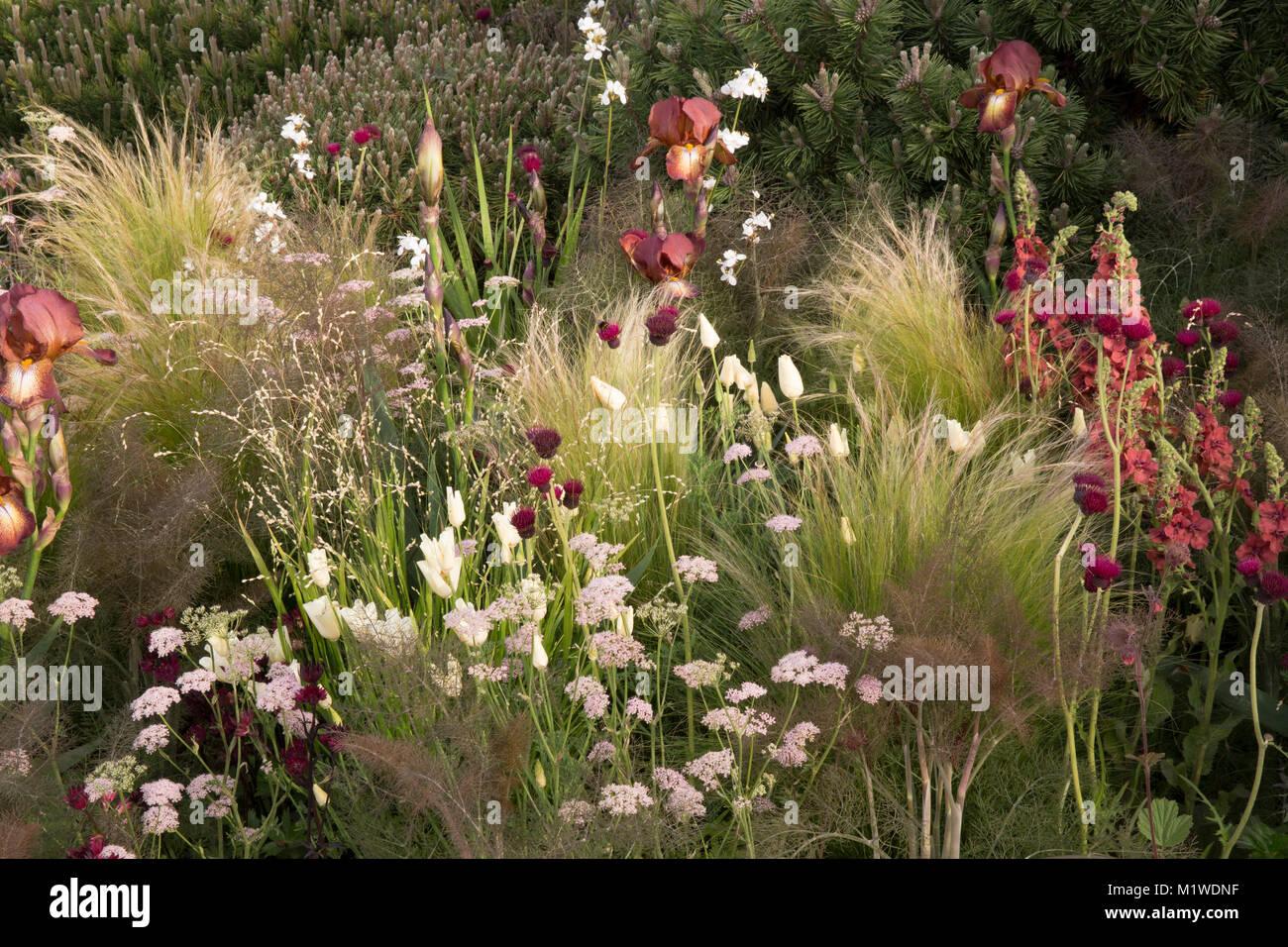 The BBC Radio 2 Jeremy Vine Texture Garden, Iris germanica 'Kent Pride', Cirsium rivulare 'Atropurpureum', - Stock Image