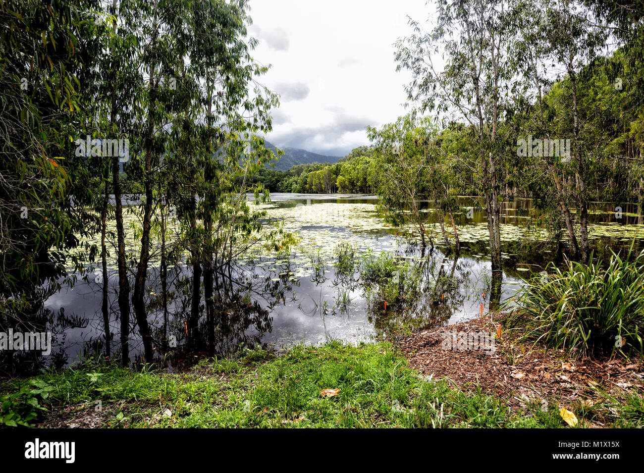 View of rehabilitated Cattana Wetlands with pretty waterlilies, Smithfield, near Cairns, Far North Queensland, FNQ, - Stock Image