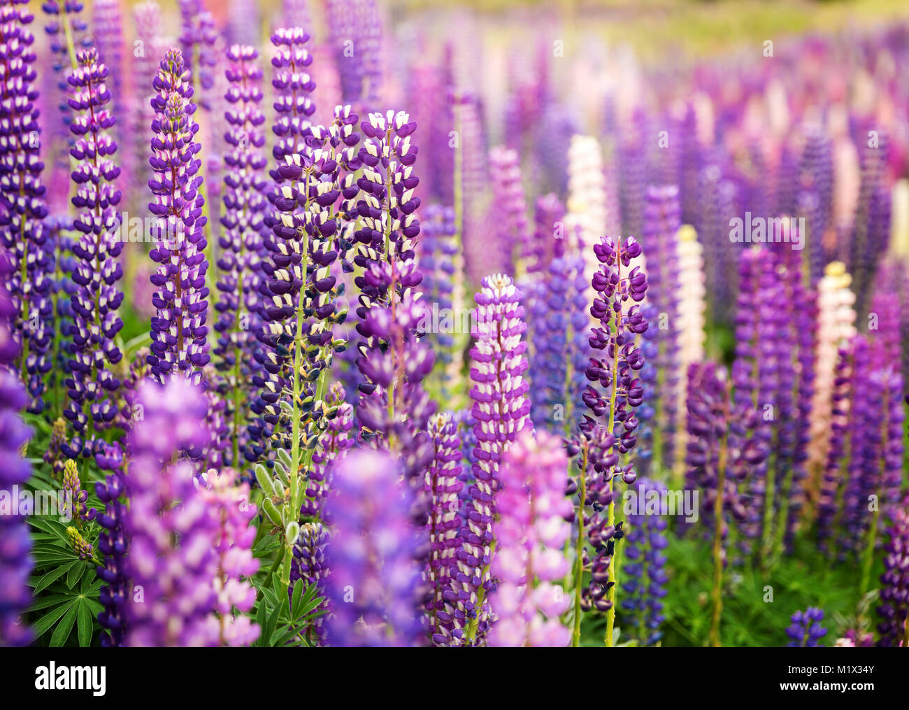 Field of wild lupins in New Zealand, closeup Stock Photo