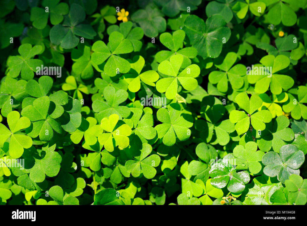 Clover and little yellow flower stock photo 173292680 alamy clover and little yellow flower mightylinksfo