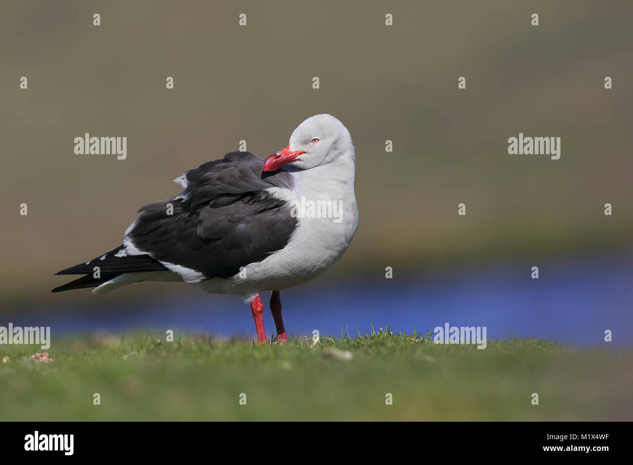 Dolphin gull - Stock Image