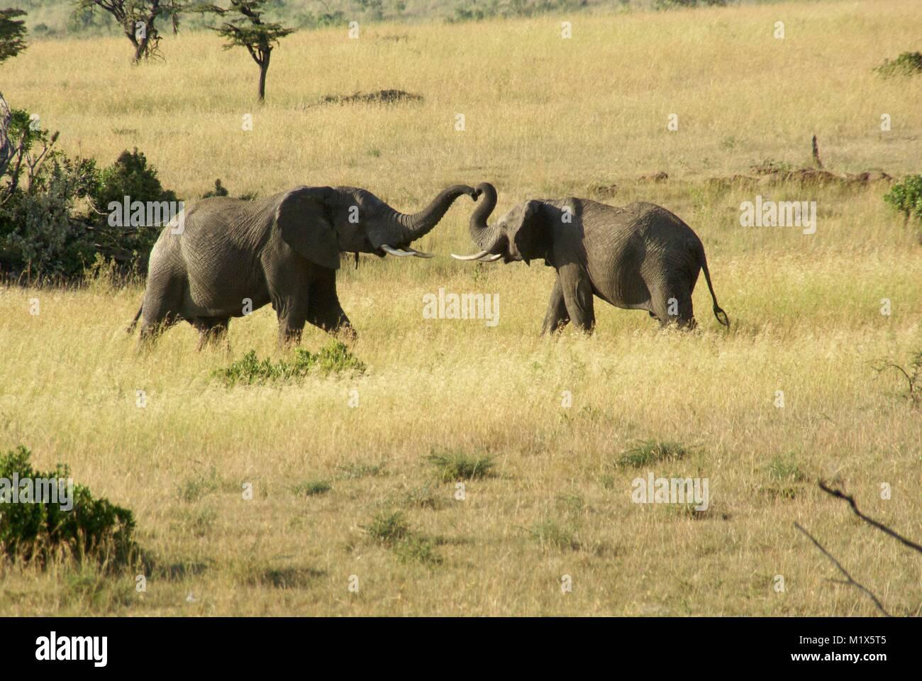 African elephant (Loxodonta africana) kenya safari wildlife nature - Stock Image