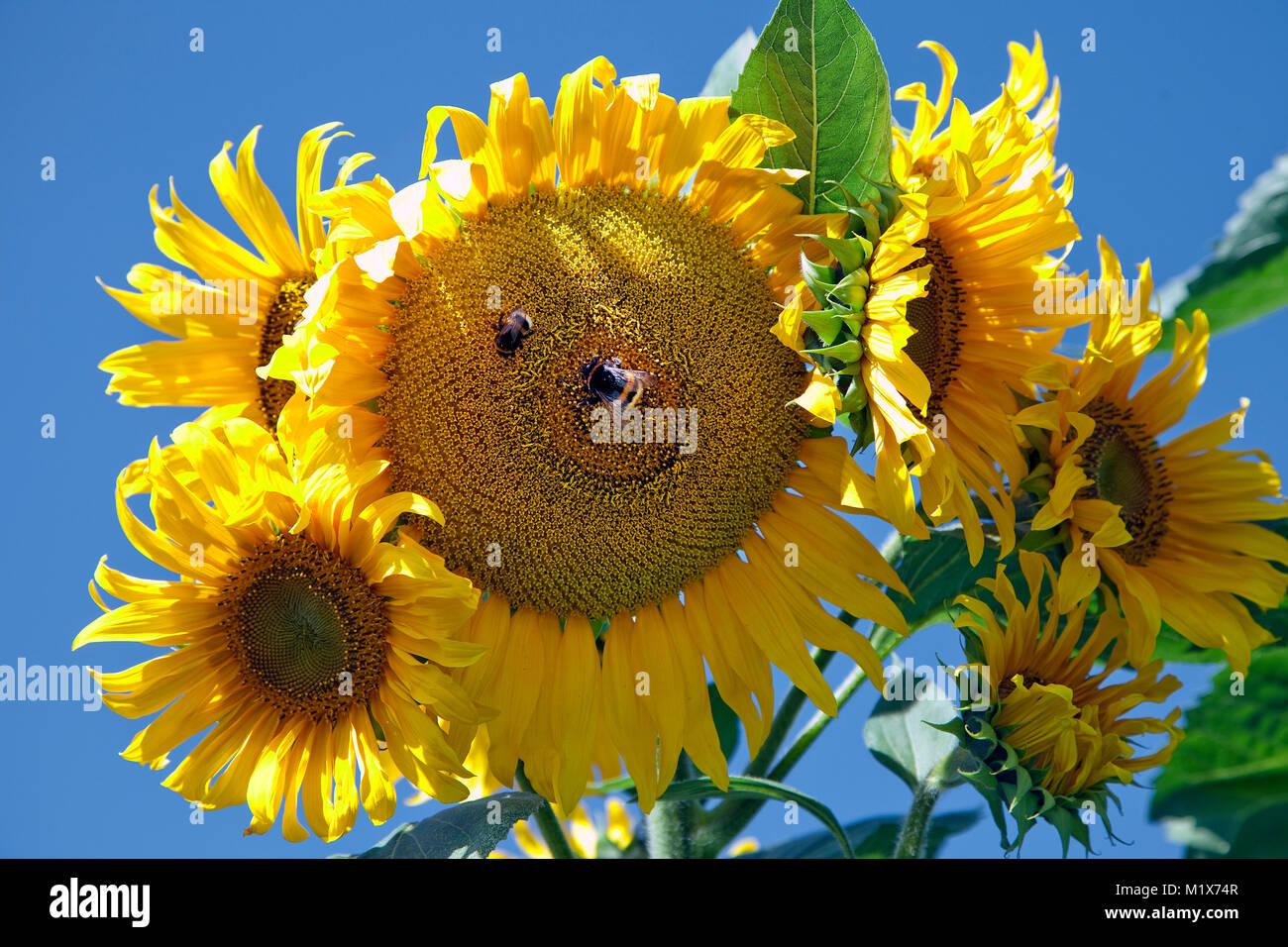 Sonnenblumen in Uerzig, Mittelmosel, Rheinland-Pfalz, Deutschland, Europa   Sun flowers at Uerzig, Moselle river, - Stock Image