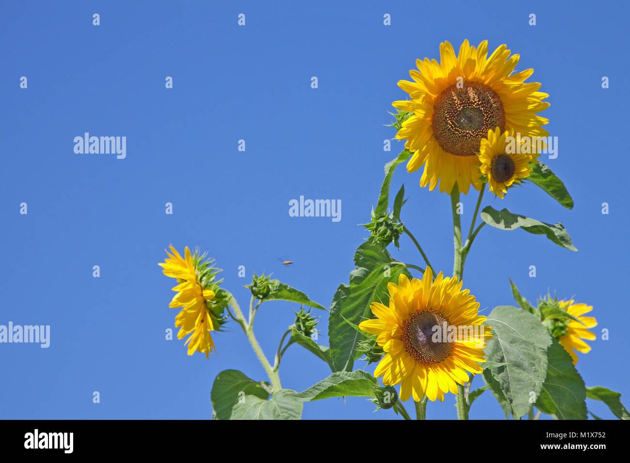 Sun flowers (Helianthus annuus) at wine village Uerzig, Moselle river, Rhineland-Palatinate, Germany, Europe - Stock Image